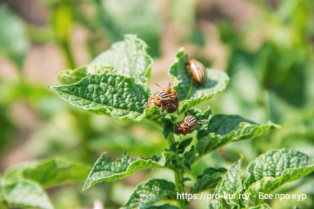 Колорадские жуки на картошке как бороться?