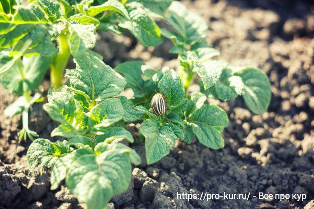 Способы борьбы с колорадским жуком на картофеле народными средствами.