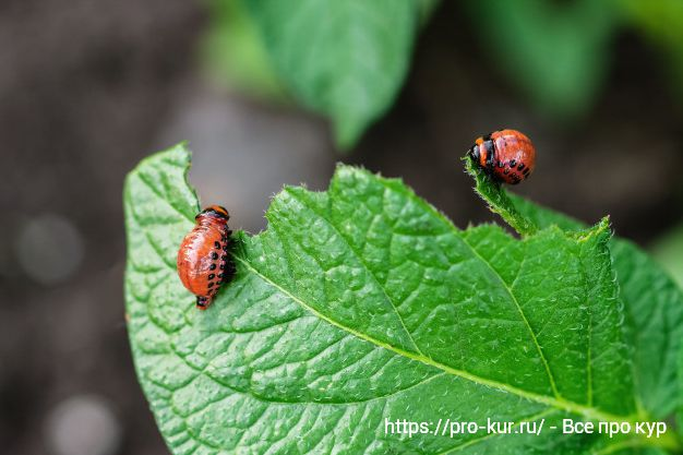Личинки колорадского жука объедают листья картошки.