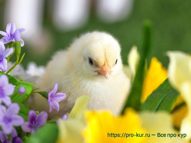 Бройлерный цыпленок фото.