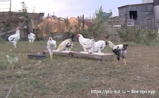 Юрловские куры и голосистые петухи в домашних условиях.