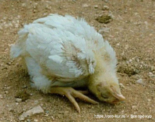 Симптомы болезни Ньюкасла у цыплят бройлеров.