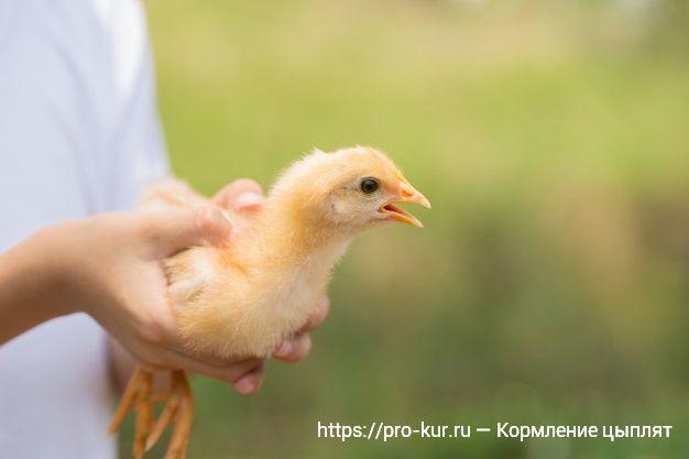 Кормление цыплят несушек с первых дней жизни в домашних условиях.