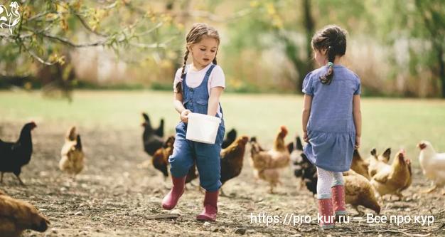 Куры в августе — заботы о птице и работы в курятнике.