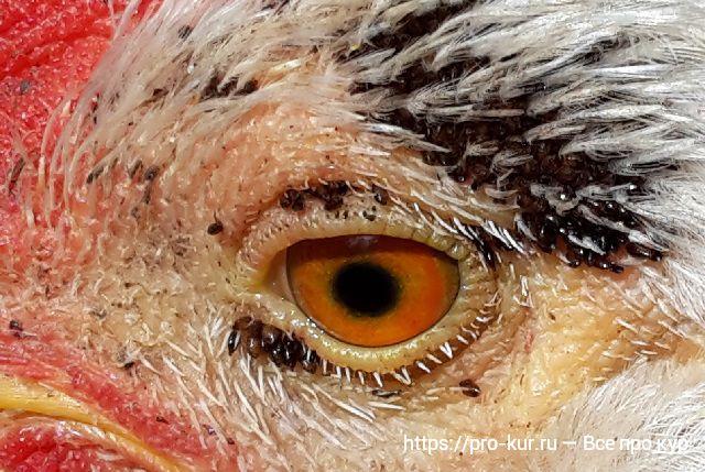Блохи у кур — как збавиться, лечение препаратами и обработка.