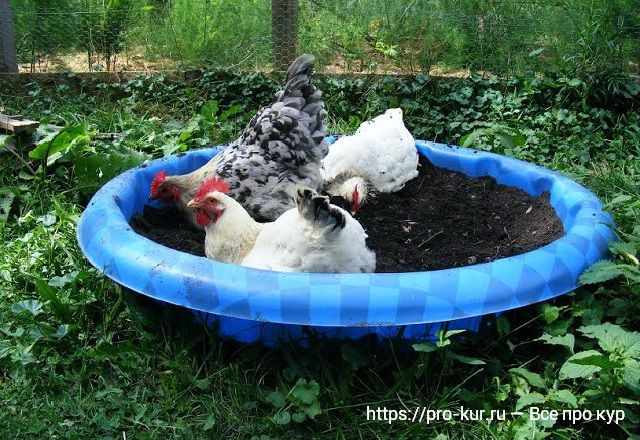 Куры принимают зольные ванны.