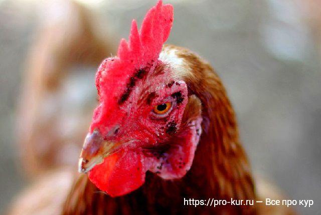 Лечение куриных блох, вшей и клещей без химии естественным путем. Блохи у кур — как збавиться, лечение препаратами и обработка.