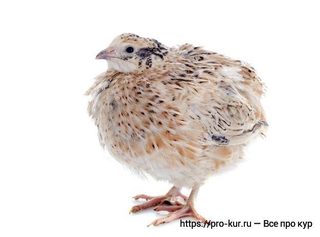 Какую птицу выгодно выращивать в домашних условиях как бизнес?