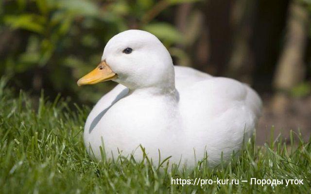 Карликовая белая утка фото. Породы уток фото и описание.