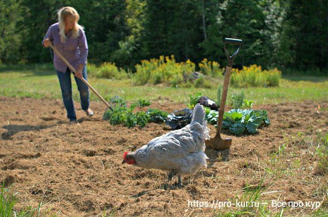 Куриный помет — как сделать подкормку и удобрять?