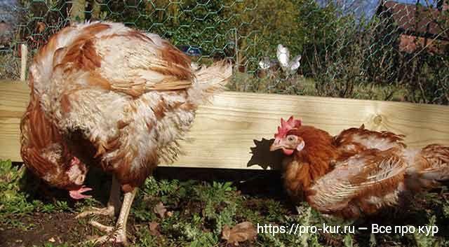 Больная курица фото.