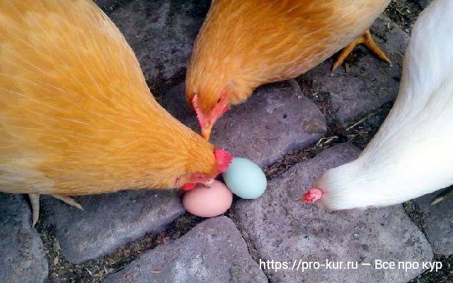 Куры расклевывают яйца и поедают – причины и что делать.