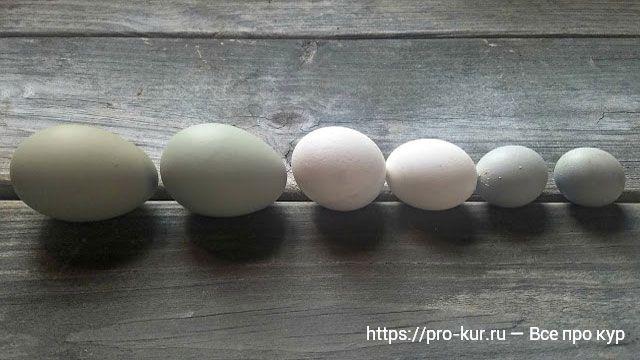 Почему у кур несушек мелкие яйца и как исправить?