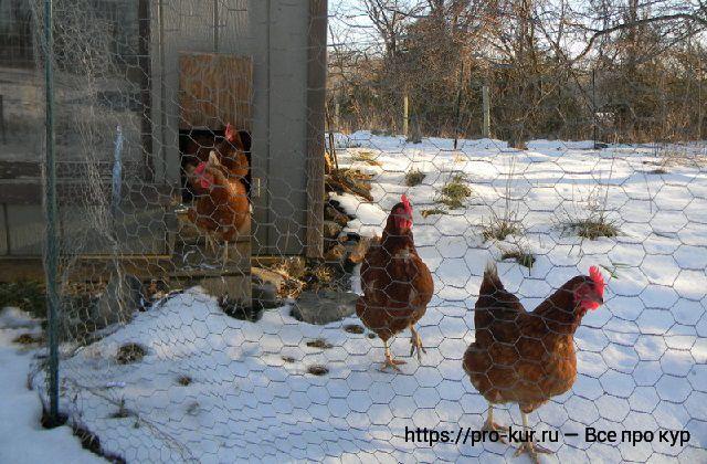 Содержание несушек зимой — кормление и условия в курятнике.
