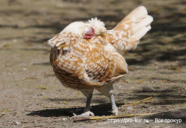 Вшивая курица всегда чешется!