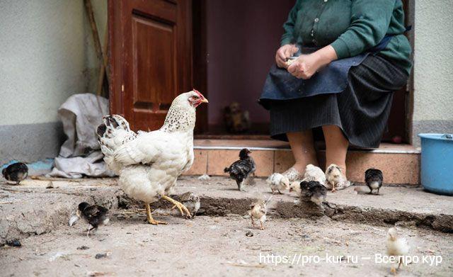 Бабушка кормит квочку с цалятами.