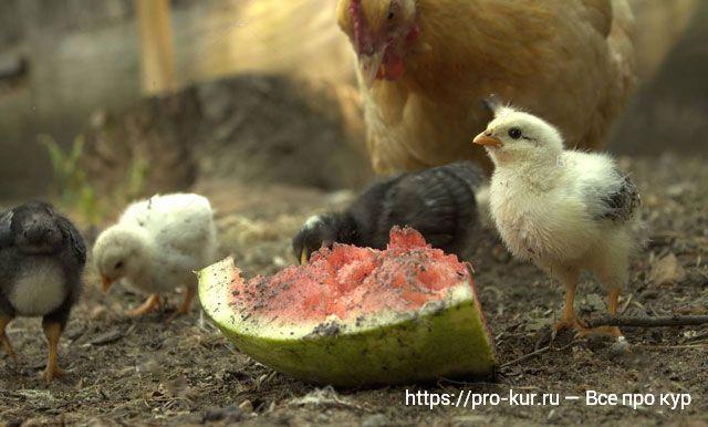 Цыплята едят арбуз.