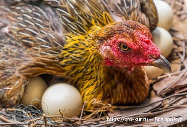 Синдром снижения яйценоскости кур EDS-76.