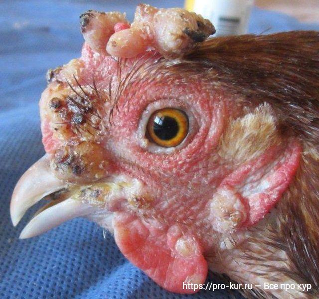 Парша у кур – симптомы и лечение в домашних условиях.