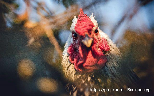 Туберкулез кур симптомы и лечение домашней птицы.