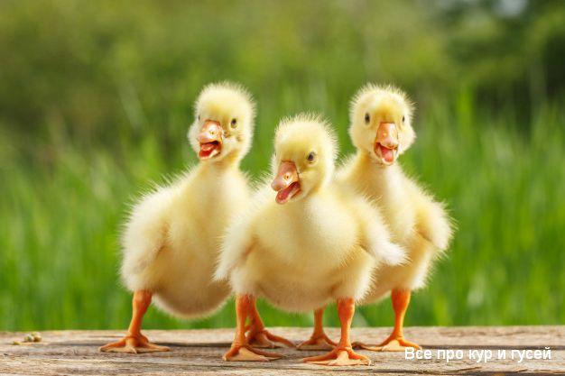 Выращивание гусей в домашних условиях для начинающих.