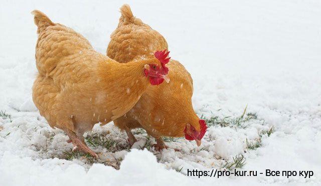 Белковые корма для кур во время линьки и для зимы.