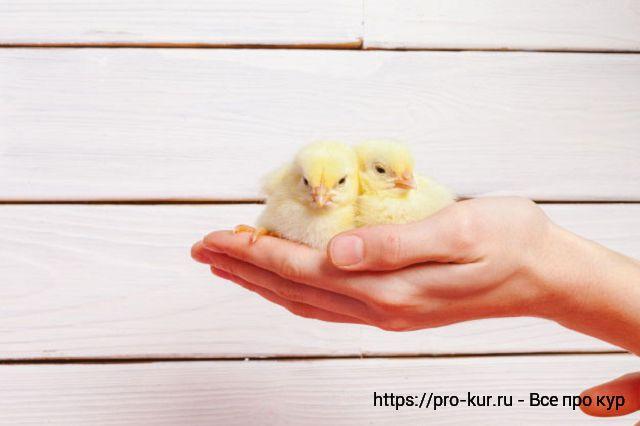 Суточные цыплята.