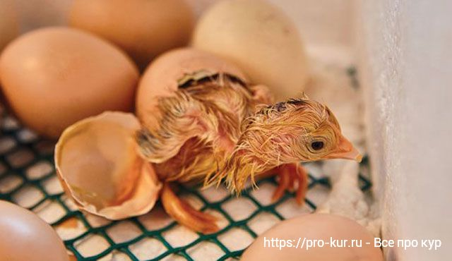 Правильная инкубация крупных куриных яиц.