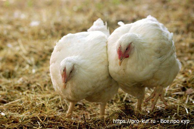 Состав комбикорма для бройлерных цыплят.