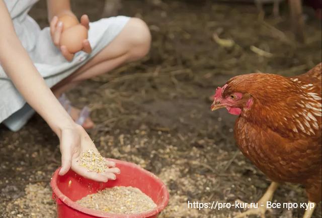 Кормление кур геркулесом для увеличения яйценоскости несушек.