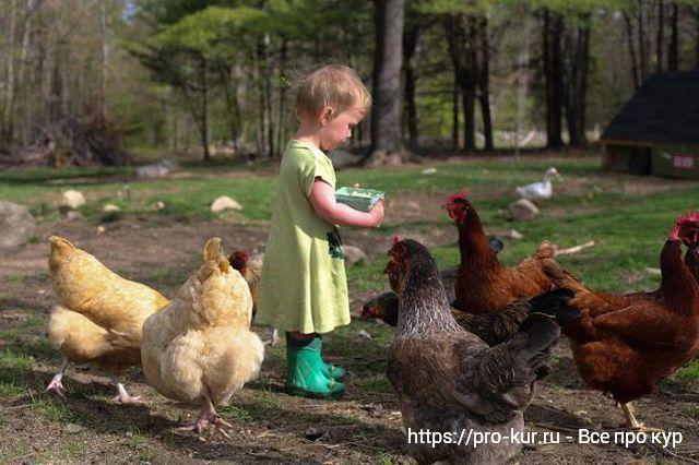 Кормление кур для увеличения яйценоскости несушек.