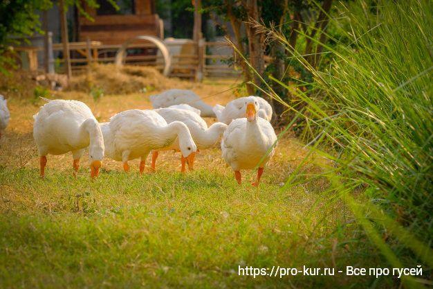Откорм гусей на мясо в домашних условиях перед забоем.