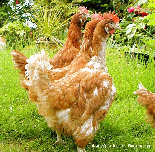 Потеря перьев у кур – от причин до способов лечения препаратами.