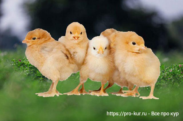 Рекомендации по выращиванию цыплят-бройлеров.