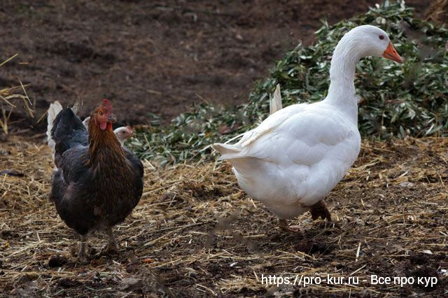 Совместное содержание кур и водоплавающей птицы.