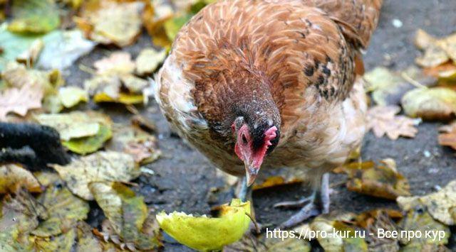 Куры в сентябре – заботы и работы в курятнике в начале осени.