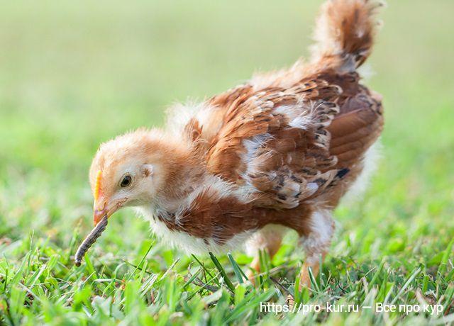 Цыпленок поймал гусеницу.