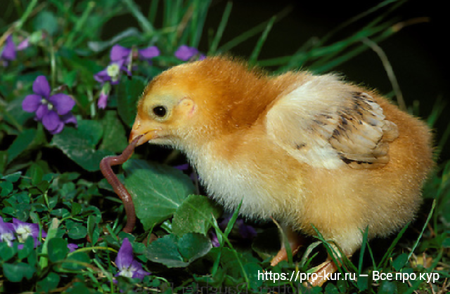 Цыпленок с дождевым червяком.