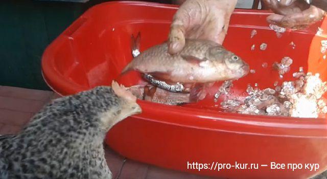 Доступные и полезные корма для кур несушек и бройлеров: рыба!
