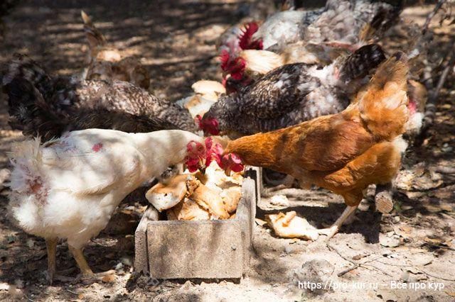 Хлеб для кур как давать? Польза и вред хлеба для птицы.