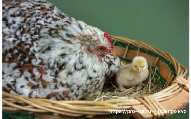Квочка и цыпленок фото.