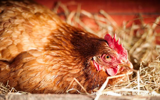 Как отучить курицу высиживать яйца? Посадить в клетку.
