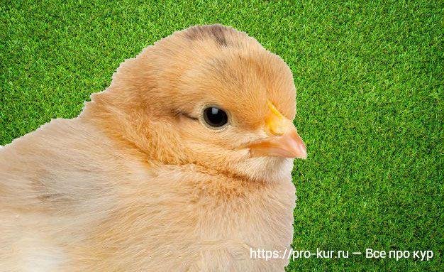 Как вырастить цыплят в домашних условиях с нуля?