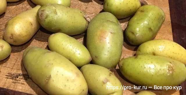 Зеленый картофель для кур несушек как давать?