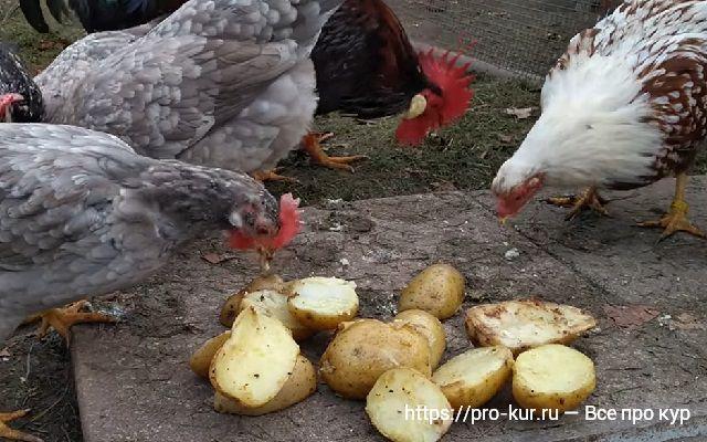 Молодая вареная картошка для кур несушек.