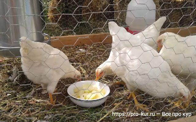 Сырая и вареная картошка для кур несушек, кормление.