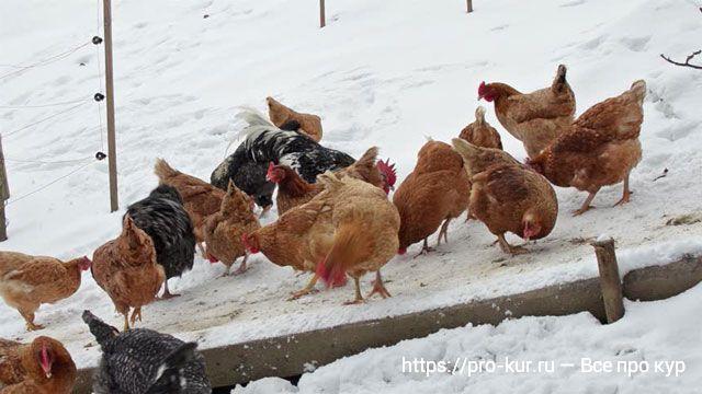 Корм для кур несушек зимой в домашних условиях своими руками.