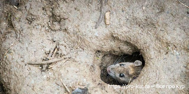 Крысы в курятнике что делать?