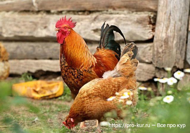Петух и курица во дворе, деревенская жизнь!