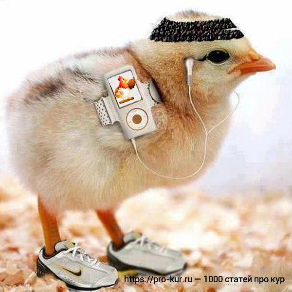 Смешной цыпленок фото.